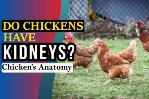 Do Chickens Have Kidneys